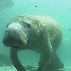 Florida Manatee encounter by aquamotion