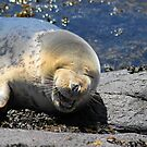 Seal At Sea Houses Northumberland  by Moonlake