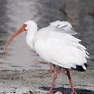 White Ibis by Dennis Cheeseman