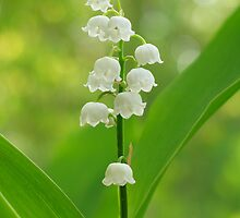 Lily of the valley by roumen