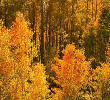 """Sierra Aspens"" by Lynn Bawden"
