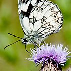 A Marble White Butterfly by Desmond  Brambley