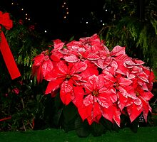 Poinsettias in Red by Laurel Talabere