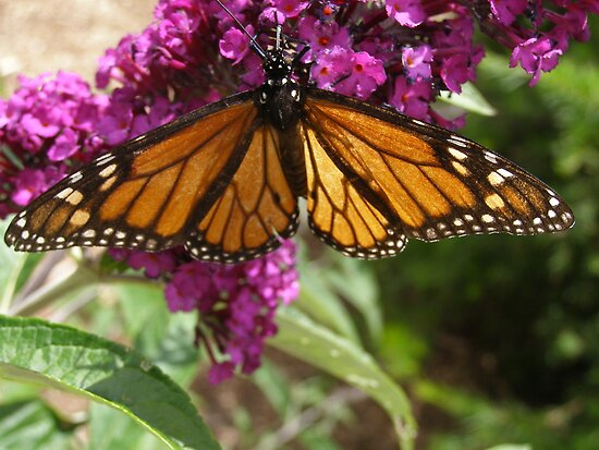 Monarch butterfly sipping nectar! 'Arilka' Adelaide Hills. Aust. by Rita Blom