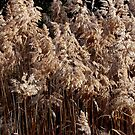 Pampas Grass  by Joanna Beilby