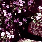 purple soapwort by CheyAnne Sexton