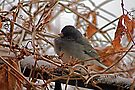 Winter Junco in the Storm by CheyAnne Sexton