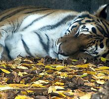 Sleeping Tiger by Veronica Schultz