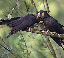 Yellow-tailed black cockies - in love by Steve Axford