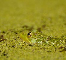 Portuguese Kermit- Watering Hole Frog by cpeixot1
