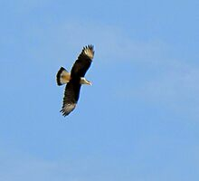 Crested Caracara in Flight by Kimberly Chadwick