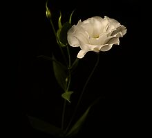 White Lisianthus by Christina Backus