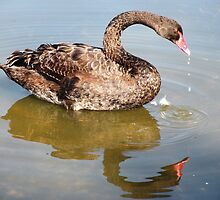 Black Swan Reflected. by Trish Meyer