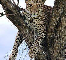 Lazy Leopard by Angela1