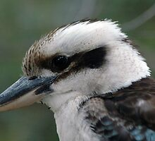 Kookaburra An Australian Native by CasPhotography