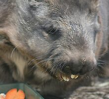Feeding Wombat by ellismorleyphto