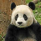 Panda in Wolong reserve of China by Marieseyes