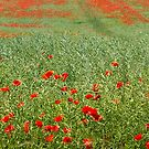 Les Coquelicots by Erwin G. Kotzab