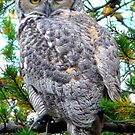 Grey Horned Owl   by MaeBelle