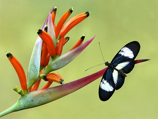 Heliconius butterfly by jimmy hoffman