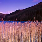 Reeds beside Loch Seil by PigleT