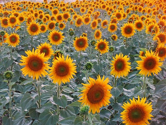 Sunflowers in Sarkoy,TURKEY. by rasim1