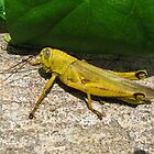 Yellow Locust - Christmas Island by abbycat