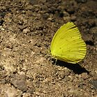 Grass-Yellow Butterfly on Christmas Island by abbycat