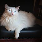 Portrait of Snowy on the Chair by Barb Leopold