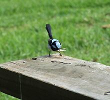 Fairy Wren with lunch, Bunya Mountains, QLD by Caroline Crawford