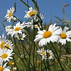 Happy daisies by John Keates