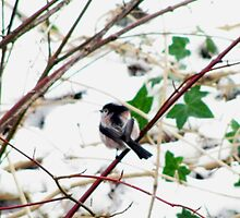 Long tailed Tit by Caroline Anderson