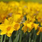 Daffodils  by roumen