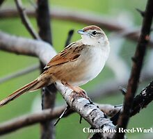 ''Clamorous Reed-Warbler by bowenite