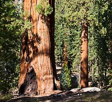Sequoias by Nickolay Stanev