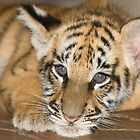 tiger cub by AngiNelson