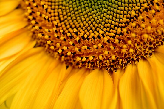 Detail of sunflower by retouch