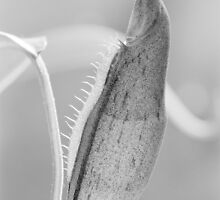 Nepenthes - immature pitcher  by Mike Finley