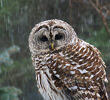 A Barred Owl came to Visit by MaryinMaine