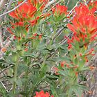 Desert Paintbrush by Betty E Duncan  Blue Mountain Blessings Photography