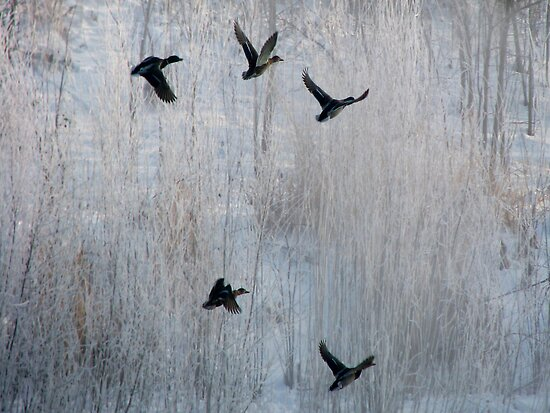 Ducks In Flight by swaby