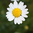 Daisy by indi09