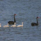 Black swan family by Christine Beswick