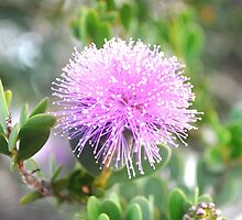 Melaleuca in Bloom by Steve Page