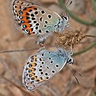 Mating Idas Blue butterflies by Hugh J Griffiths