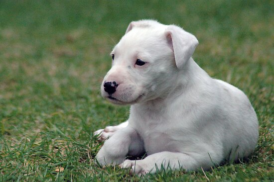 White Lab - NSW by CasPhotography