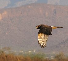 Northern Harrier II by Kimberly Chadwick