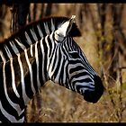 Zebra by chrismcloughlin