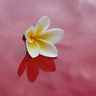 Frangipani shadow by Karlee Lynam