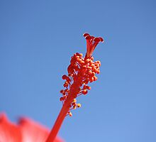 Red Hibiscus 4 with Blue sky by TeAnne